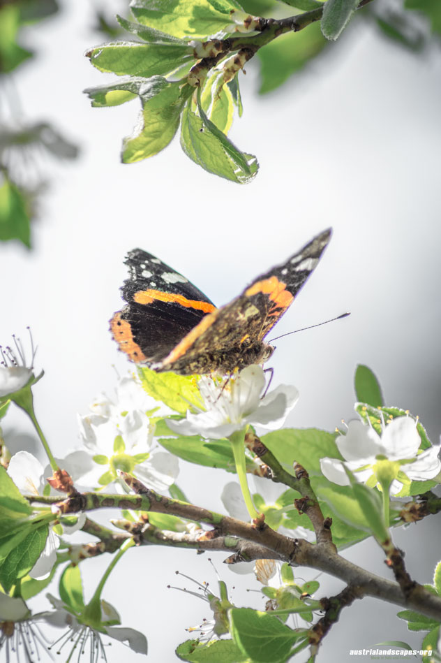 first butterfly Ennswiese Austrialandscapes Styria